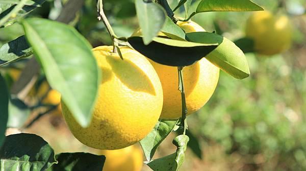 臍橙、檸檬 008