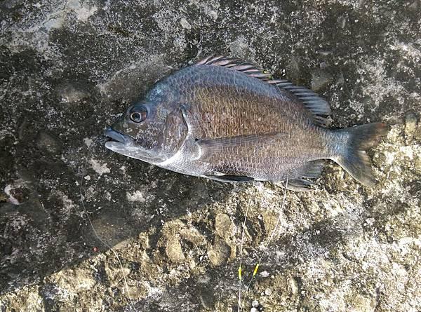 20150617魚4