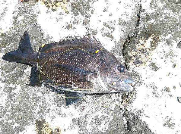20150617魚7
