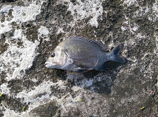 20150617魚3