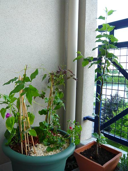 pot de fleurs et pommier