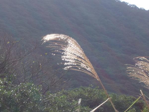 大屯山的蘆葦