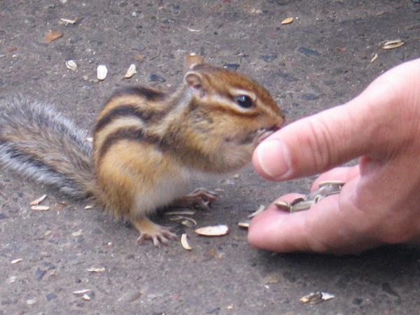 摩周湖旁的貪吃松鼠