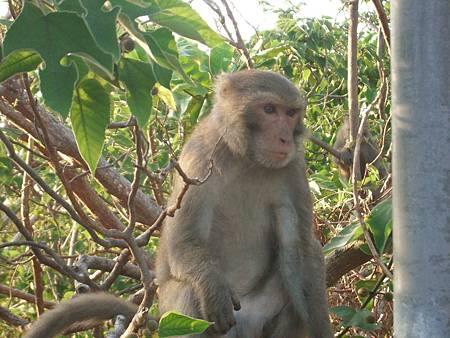 柴山獼猴.JPG