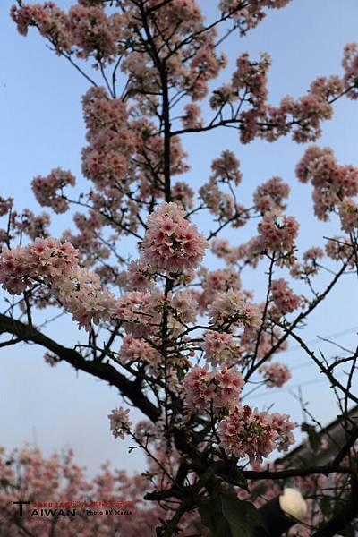 Sakura(s)_0001.JPG