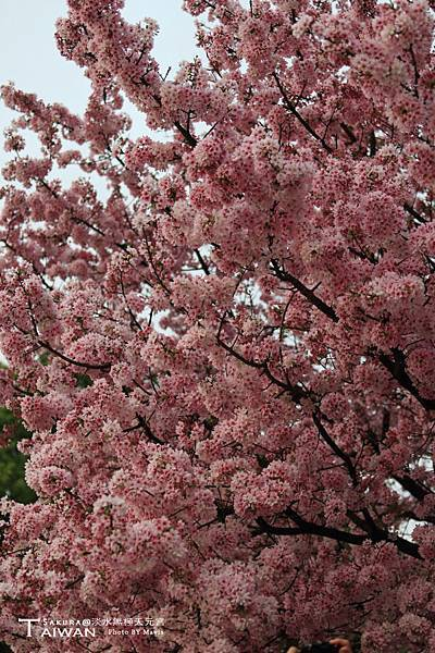 Sakura(s)_0010.JPG