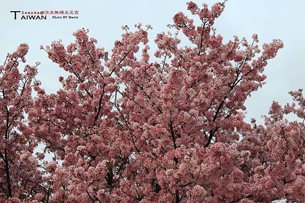 Sakura_0011.JPG