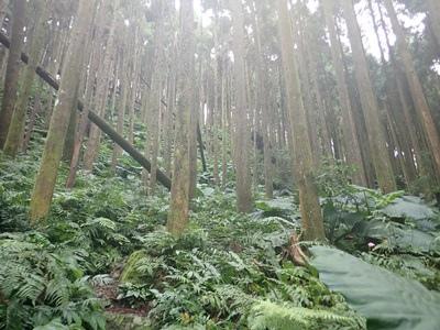 09杉木林.JPG