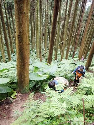 10杉木林.JPG