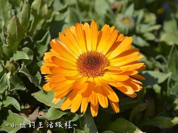 03親子DIY 新竹 那羅部落 景點 旅遊 香草  金盞花.jpg