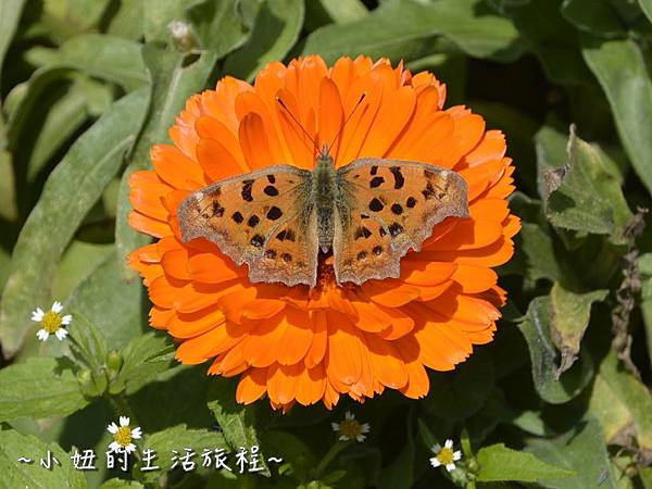 04親子DIY 新竹 那羅部落 景點 旅遊 香草  金盞花.jpg