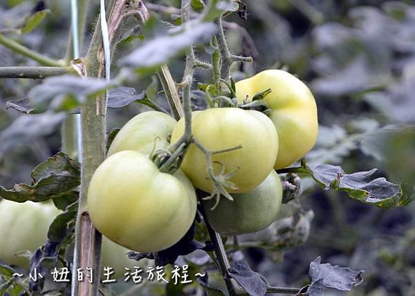 71新竹關西親子景點  金勇DIY 蕃茄農場 親子DIY  新竹休閒農場.JPG