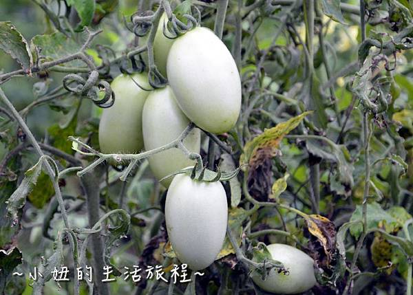 72新竹關西親子景點  金勇DIY 蕃茄農場 親子DIY  新竹休閒農場.JPG