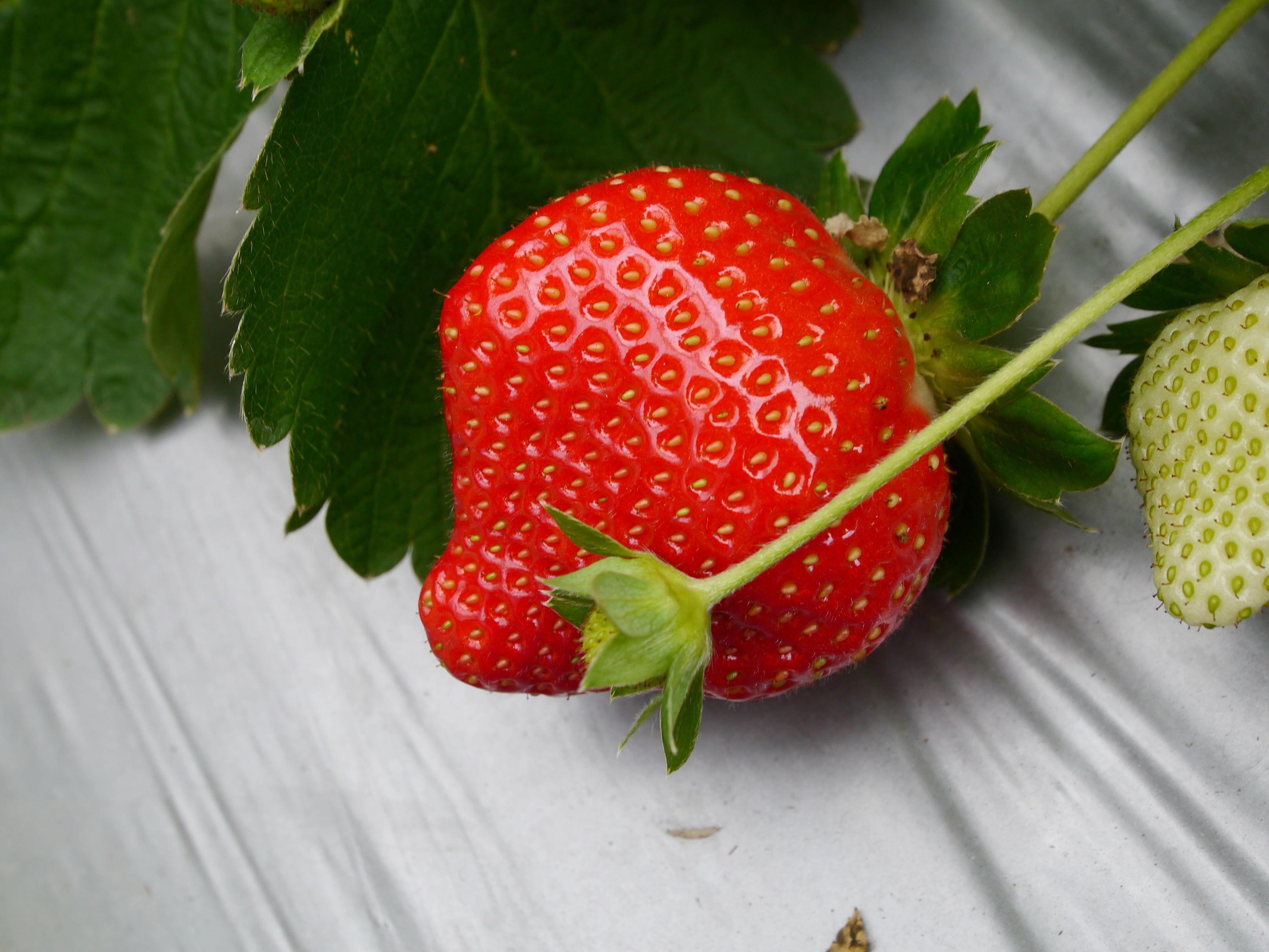 採草莓 大顆草莓