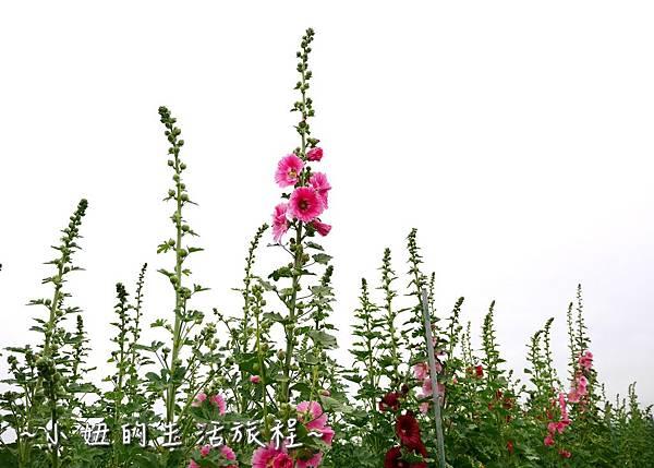 27  2017田中蜀葵花海節 彰化 田中窯.JPG