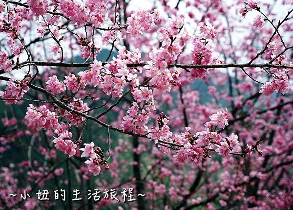 武陵農場 2017 櫻花季P1170460.jpg