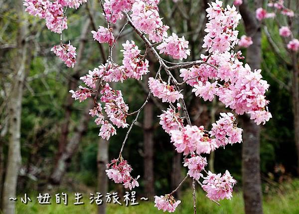 武陵農場 2017 櫻花季P1170480.jpg