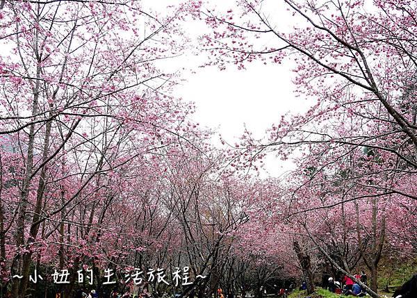 武陵農場 2017 櫻花季P1170490.jpg