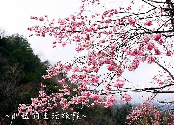 武陵農場 2017 櫻花季P1170493.jpg