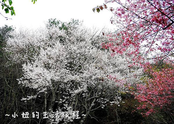 武陵農場 2017 櫻花季P1170519.jpg