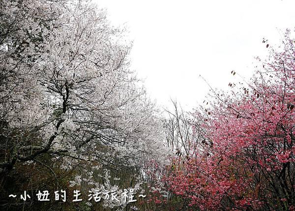 武陵農場 2017 櫻花季P1170533.jpg