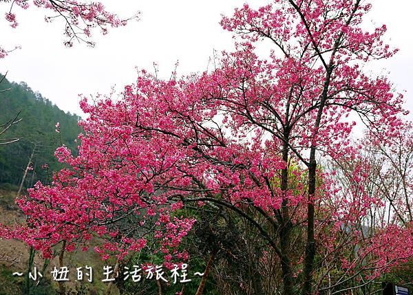 武陵農場 2017 櫻花季P1170536.jpg