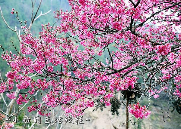 武陵農場 2017 櫻花季P1170539.jpg