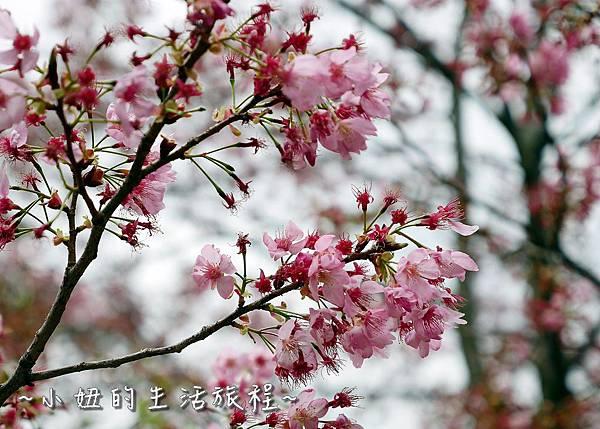 武陵農場 2017 櫻花季P1170574.jpg