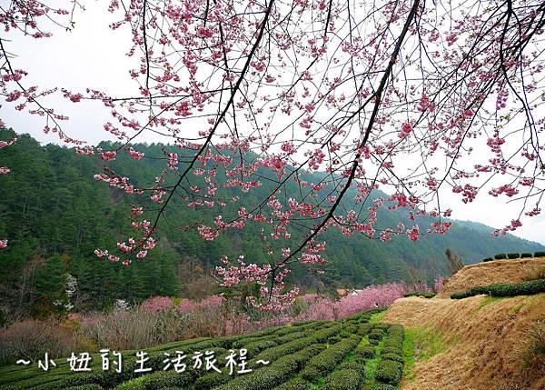 武陵農場 2017 櫻花季P1170674.jpg