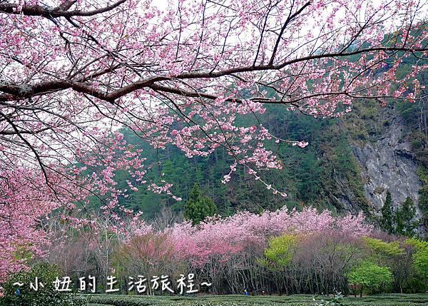 武陵農場 2017 櫻花季P1170693.jpg