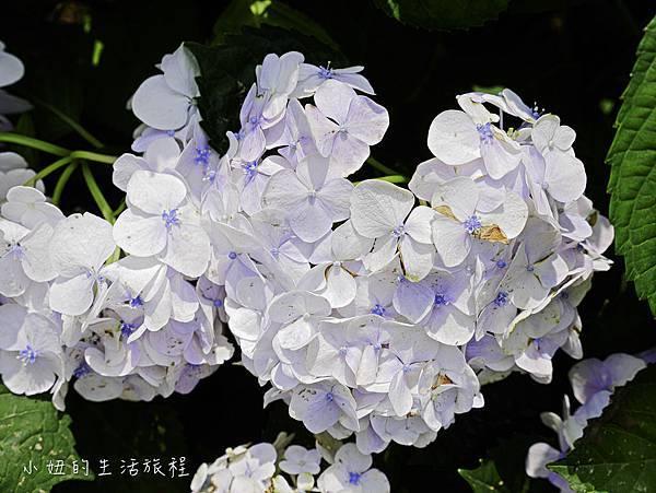 陽明山 高家繡球花田-12.jpg
