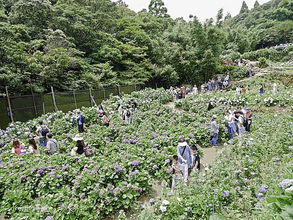 陽明山 高家繡球花田-24.jpg