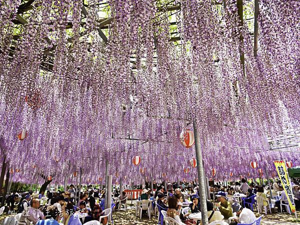 九州,中山大藤,紫藤花.交通-16.jpg