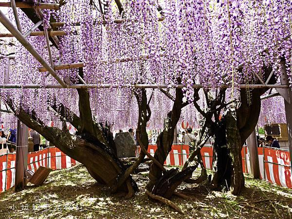 九州,中山大藤,紫藤花.交通-18.jpg
