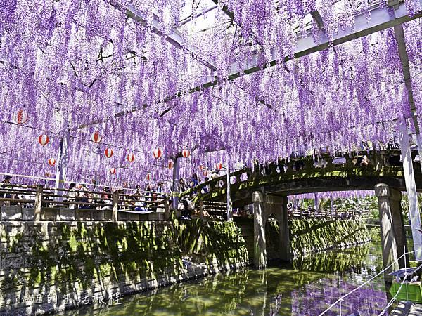九州,中山大藤,紫藤花.交通-20.jpg