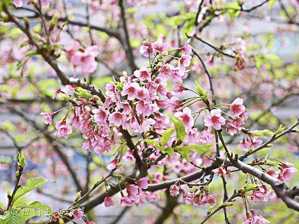 樂活公園,內湖特色公園,內溝溪,賞櫻,內湖,櫻花-13.jpg