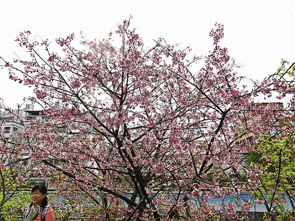樂活公園,內湖特色公園,內溝溪,賞櫻,內湖,櫻花-17.jpg