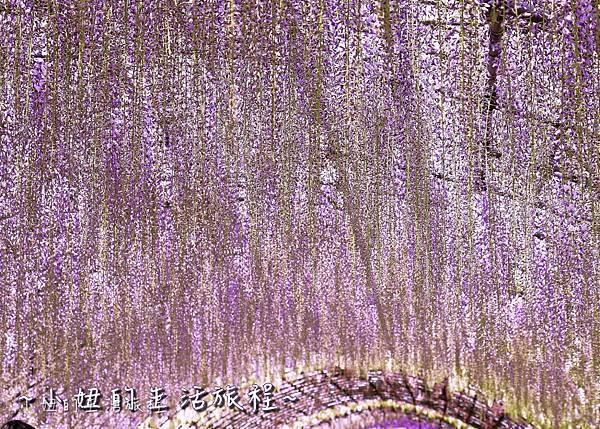 北九州市八幡東区河內藤園,日本九州紫藤,2018-1.jpg