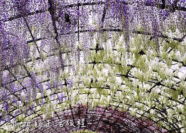 北九州市八幡東区河內藤園,日本九州紫藤,2018-3.jpg
