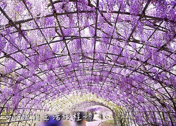 北九州市八幡東区河內藤園,日本九州紫藤,2018-5.jpg