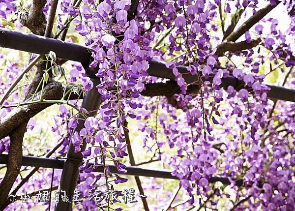 北九州市八幡東区河內藤園,日本九州紫藤,2018-6.jpg