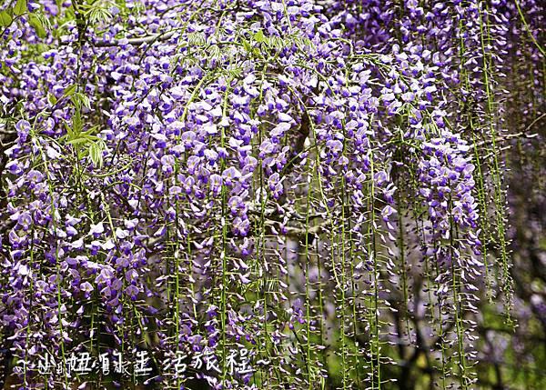 北九州市八幡東区河內藤園,日本九州紫藤,2018-8.jpg