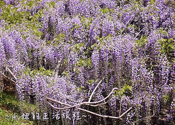 北九州市八幡東区河內藤園,日本九州紫藤,2018-9.jpg