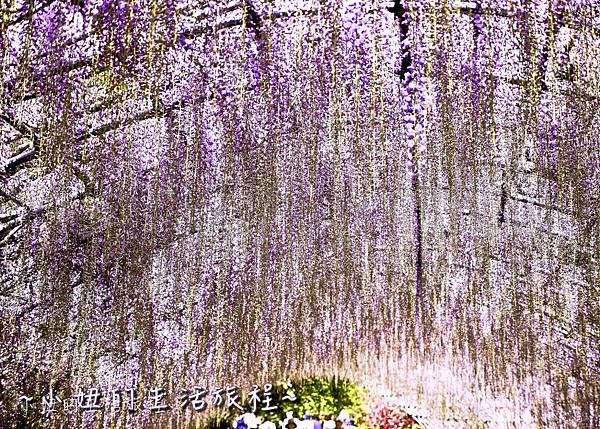 北九州市八幡東区河內藤園,日本九州紫藤,2018-10.jpg