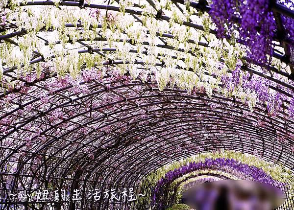 北九州市八幡東区河內藤園,日本九州紫藤,2018-11.jpg