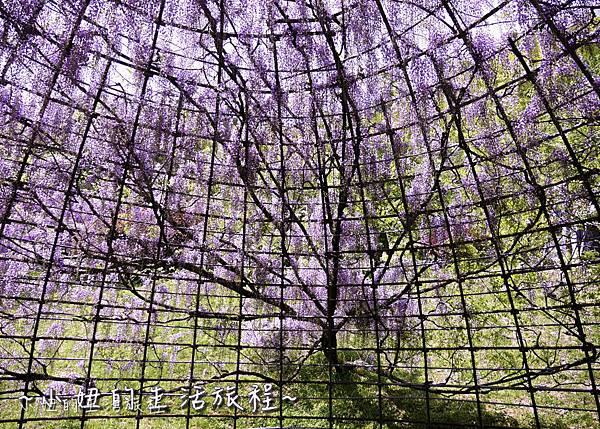 北九州市八幡東区河內藤園,日本九州紫藤,2018-13.jpg