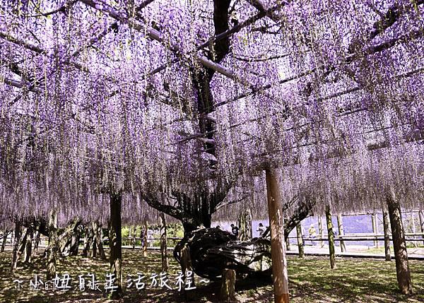 北九州市八幡東区河內藤園,日本九州紫藤,2018-23.jpg