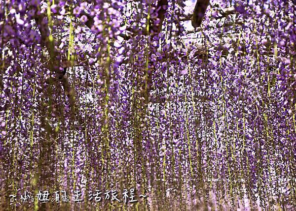 北九州市八幡東区河內藤園,日本九州紫藤,2018-27.jpg