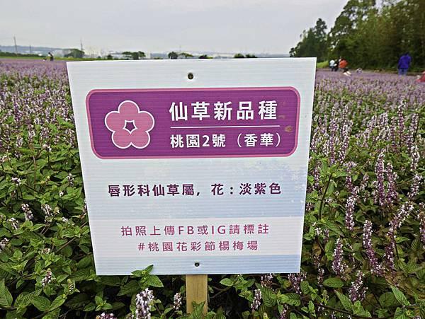 桃園,楊梅,仙草花,紫色花海-2.jpg