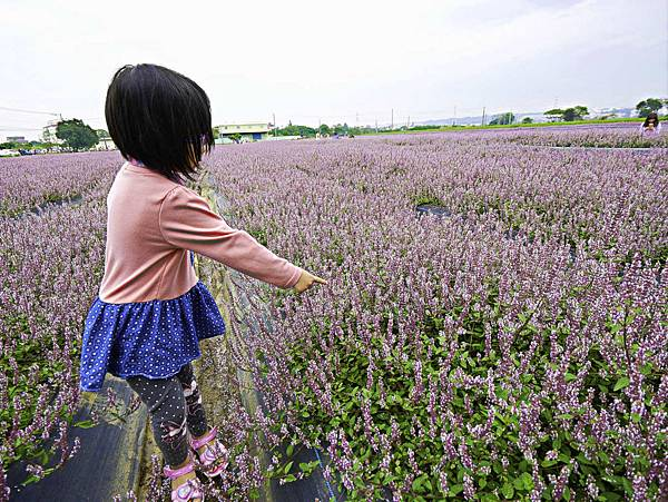 桃園,楊梅,仙草花,紫色花海-5.jpg